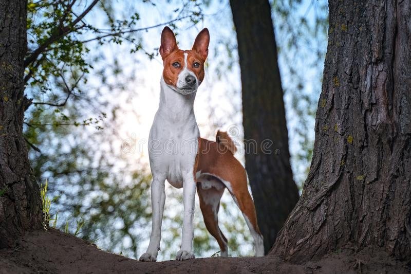 Portrait of a red basenji standing between the trees in a summer forest on the Sunset. Basenji Kongo Terrier Dog stock photo