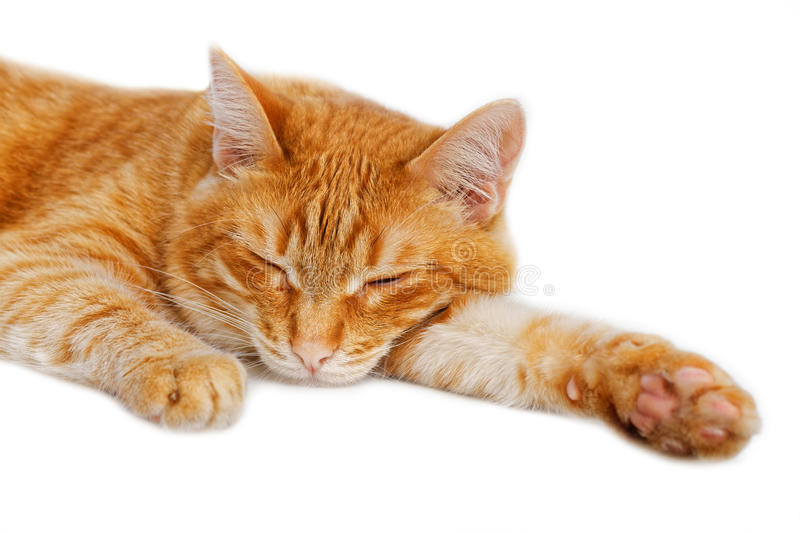 Portrait of a red cat dozing. On white background stock photos