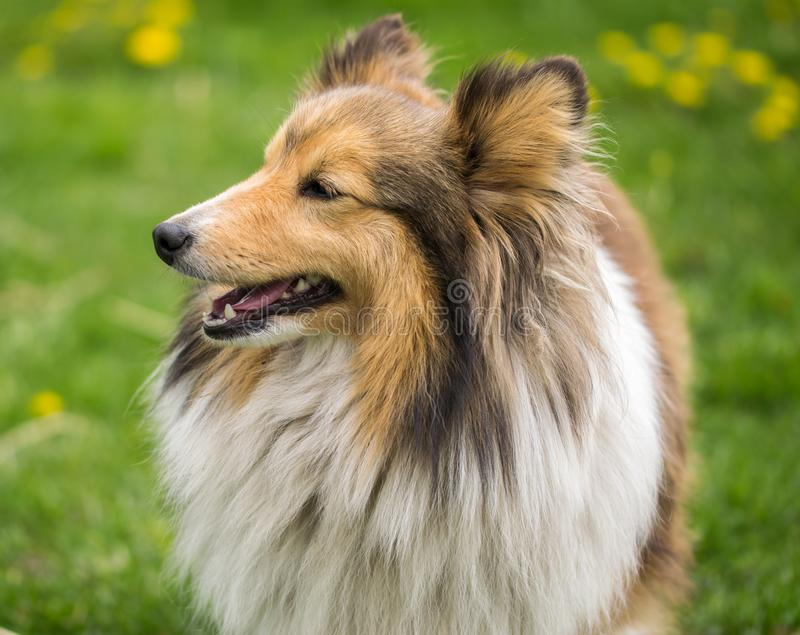 Portrait of a red collie dog on a background of bright green grass royalty free stock photo