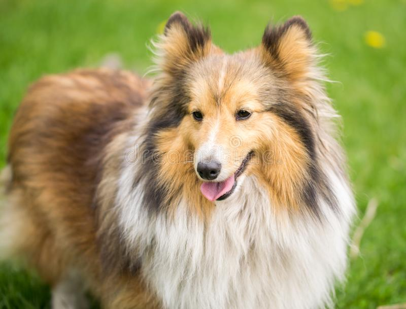 Portrait of a red collie dog on a background of bright green grass stock photos