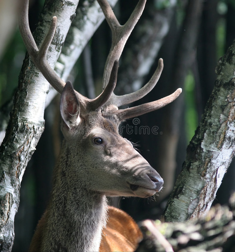 Download Portrait of Red Deer stock photo. Image of spots, forester - 1712526
