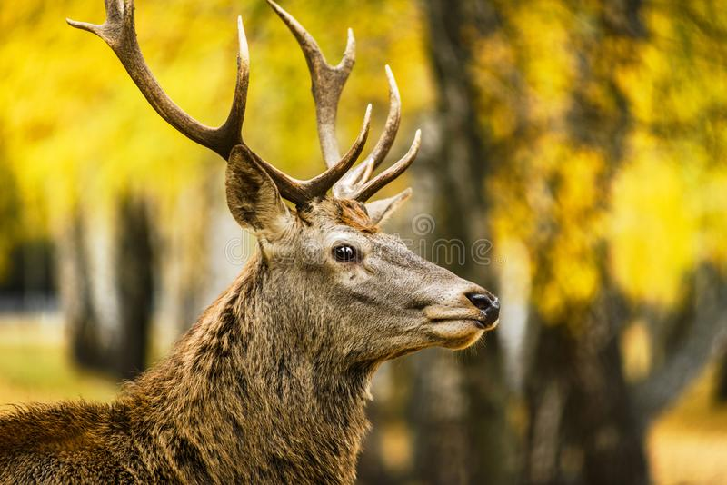 Portrait of red deer in autumn forest. Portrait of red deer in autumn birch forest royalty free stock photography