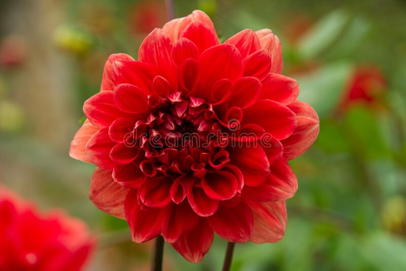 Red flower. Portrait of a red flower with green background royalty free stock images