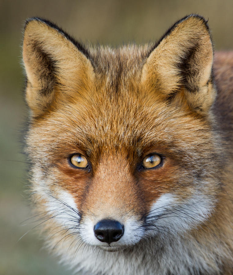A portrait of a red fox stock photography