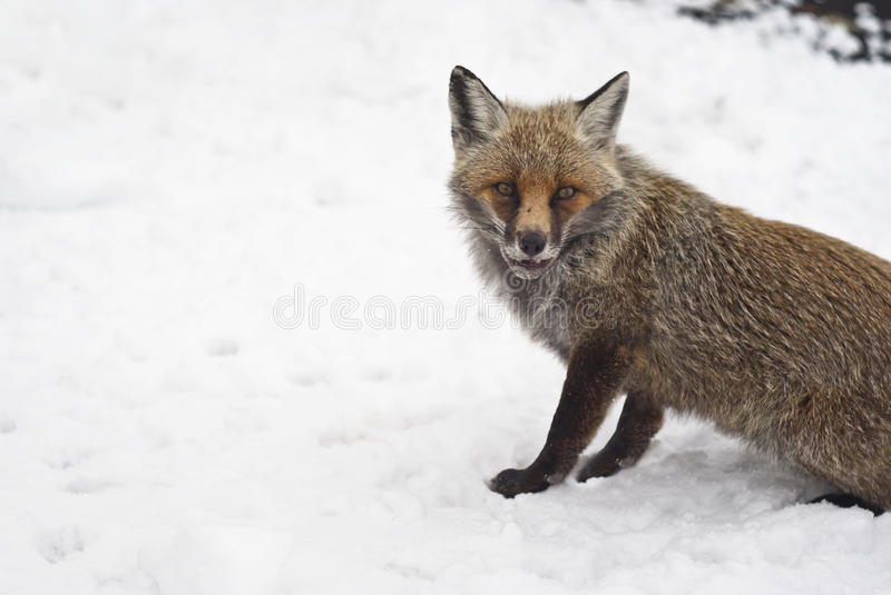Download Red Fox In The Snow Stock Photography - Image: 29914762