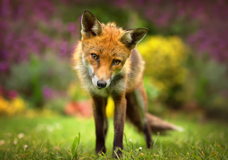 Portrait of Red Fox stock photo