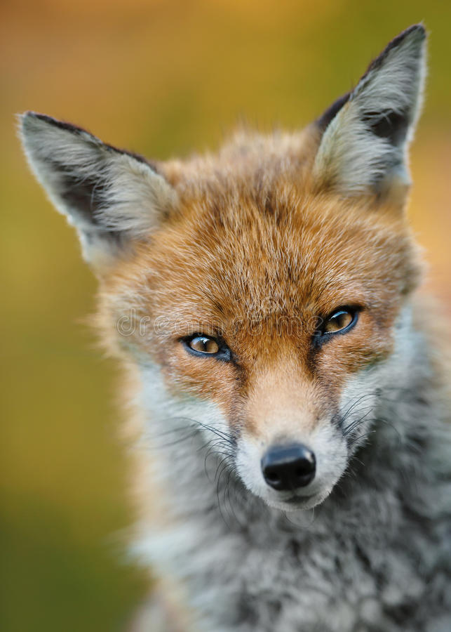 Portrait of red fox stock images