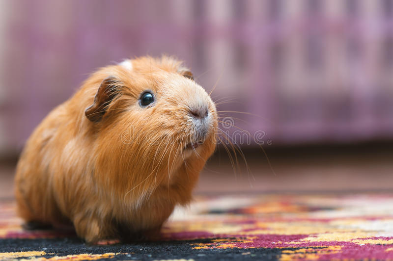 Portrait of red guinea pig. royalty free stock image