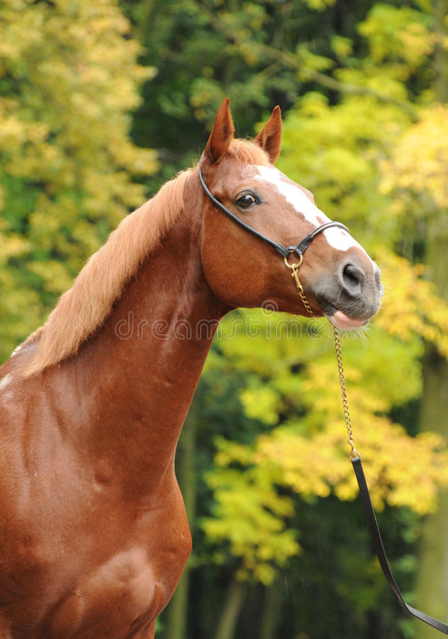 Download Portrait of a red horse stock image. Image of nature - 14707293