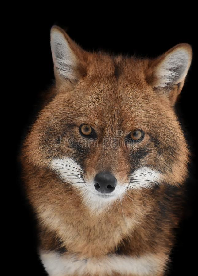 Portrait of a red Jackal with yellow eyes royalty free stock image