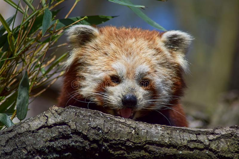 Portrait of red panda royalty free stock photography