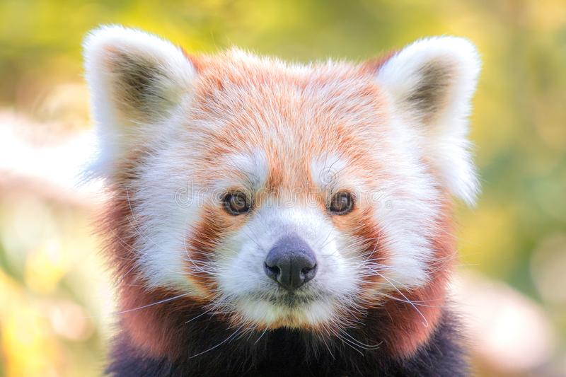 Portrait of red panda. Portrait of red panda in detail with a view into the camera stock photos