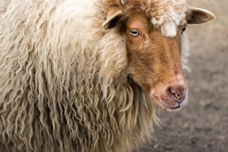 Portrait of Red Racka Sheep. Ovis aries strepsiceros hungaricus royalty free stock image