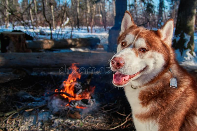 Portrait red Siberian husky sitting by the campfire in winter forest in sunny frosty day. Dog smiles and looks at camera. royalty free stock images