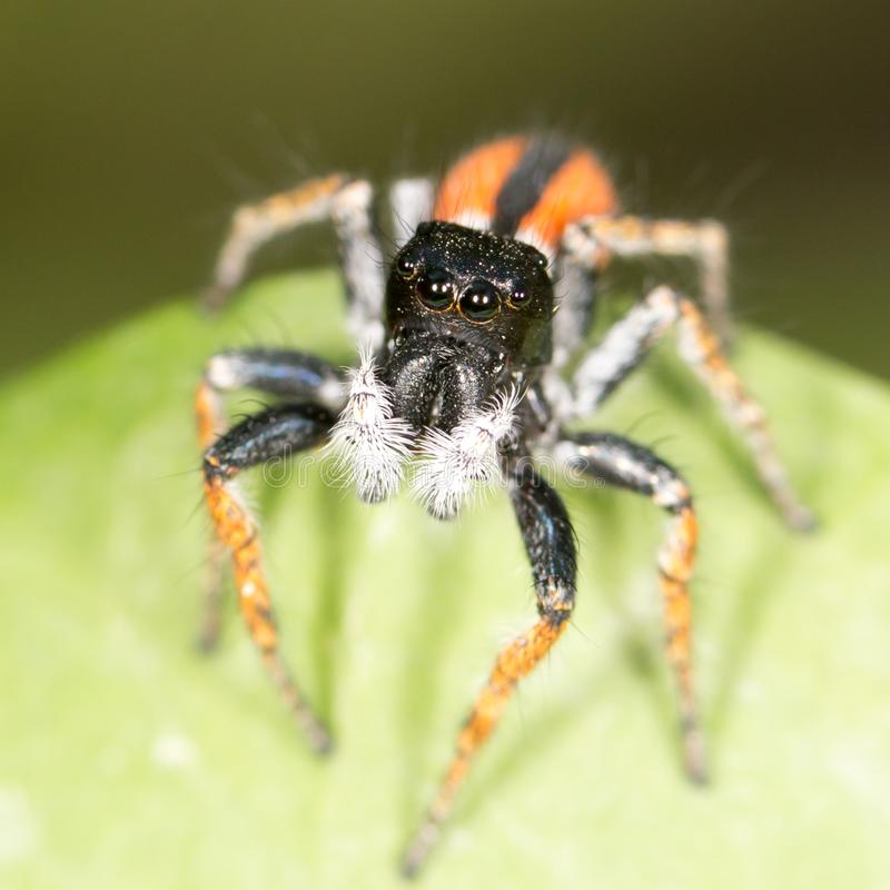 Portrait of red spider jumper royalty free stock photography