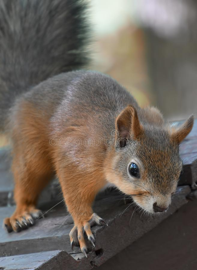 Portrait of red squirrel stock photo