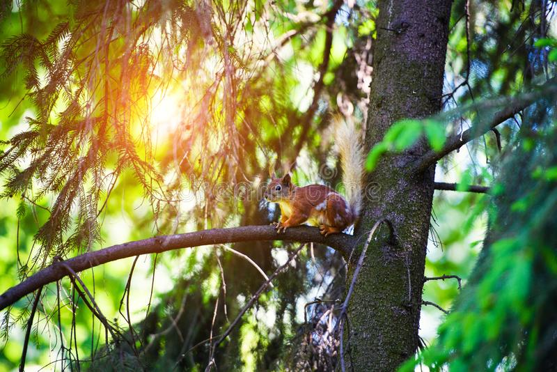 Portrait of red squirrel sitting on a branch. Park, beautiful, summer, adorable, animal, background, beauty, brown, bushy, cute, eye, fluffy, forest, funny stock image