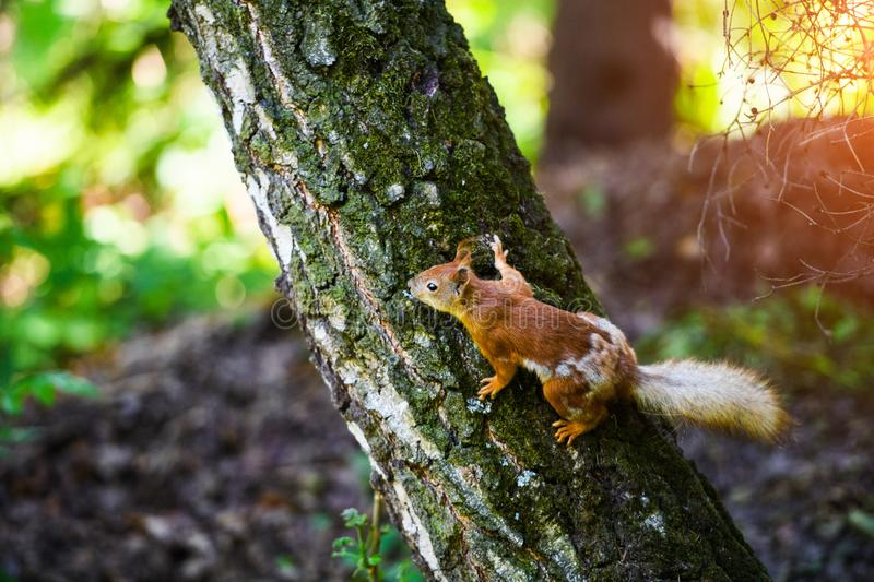 Portrait of red squirrel sitting on a branch. Park, beautiful, summer, adorable, animal, background, beauty, brown, bushy, cute, eye, fluffy, forest, funny stock photos