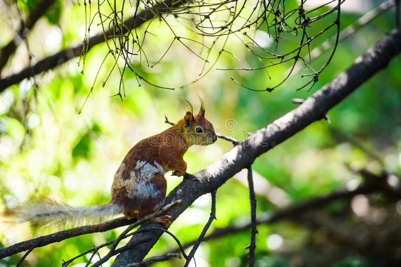 Portrait of red squirrel sitting on a branch. Park, beautiful, summer, adorable, animal, background, beauty, brown, bushy, cute, eye, fluffy, forest, funny royalty free stock image