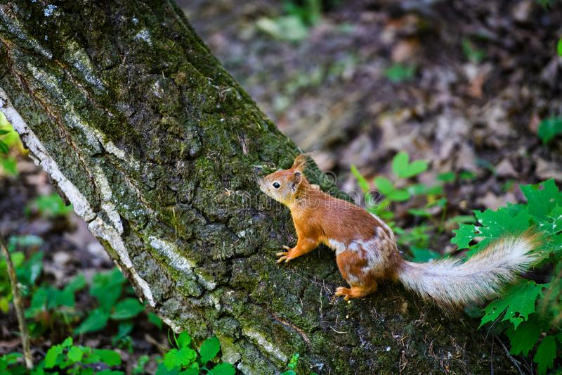 Portrait of red squirrel sitting on a branch. Park, beautiful, summer, adorable, animal, background, beauty, brown, bushy, cute, eye, fluffy, forest, funny stock photography
