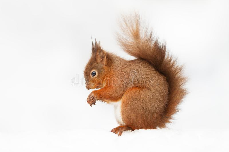 Portrait of a red squirrel sitting in the snow royalty free stock image