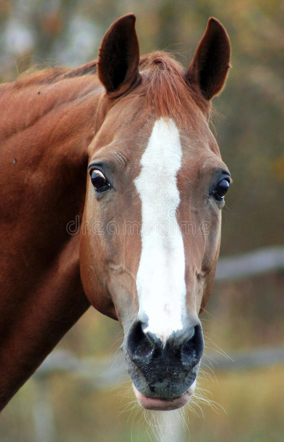 Portrait Of A Red Stallion Royalty Free Stock Photography