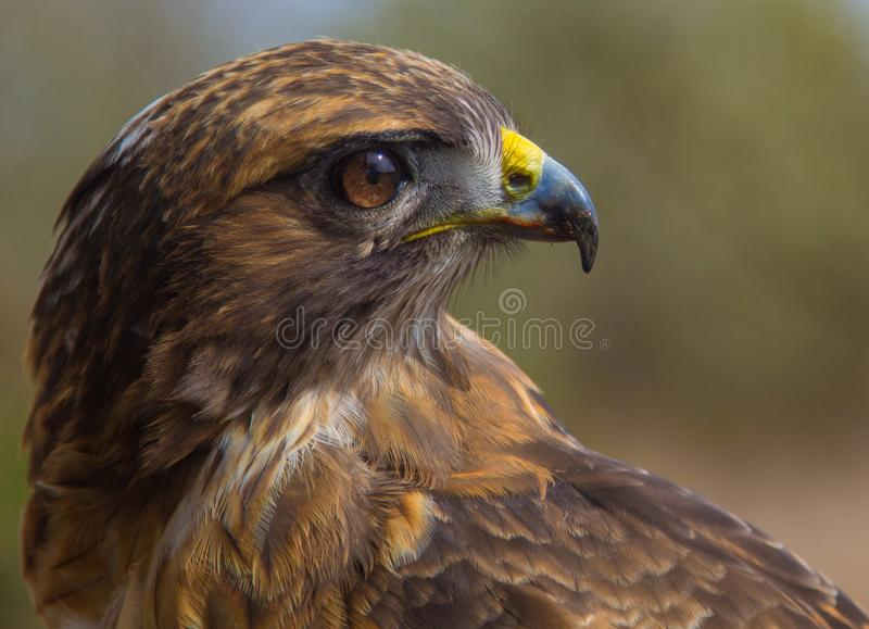 Red Tailed Hawk royalty free stock photo