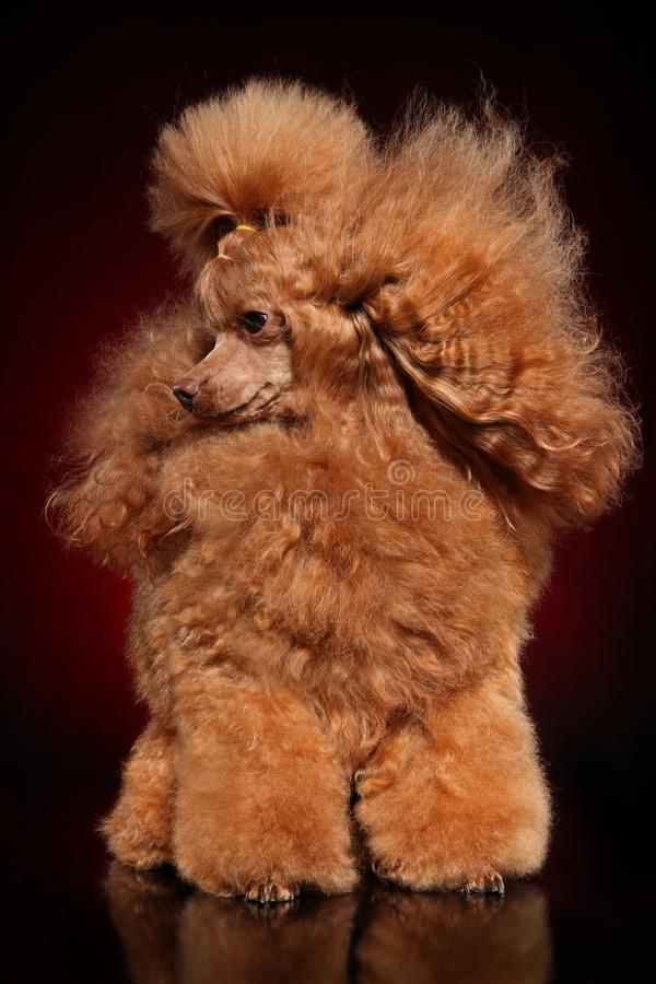 Portrait of a Red Toy Poodle. On a dark background stock image