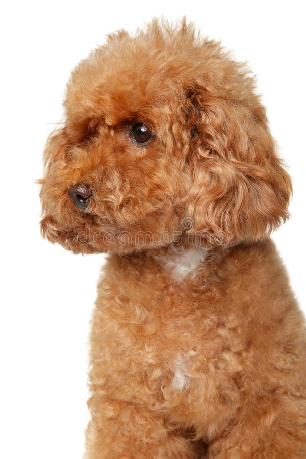 Portrait of a red toy Poodle. Portrait of a young red Toy Poodle puppy on a white background stock photography