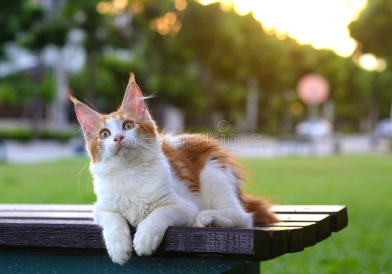 Portrait of red and white cat wondering and sitting on a wooden chair in green garden. Giant kitten sitting in garden royalty free stock image