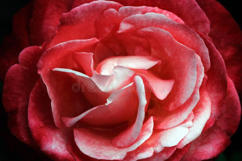 Portrait of red-white withering rose stock photography