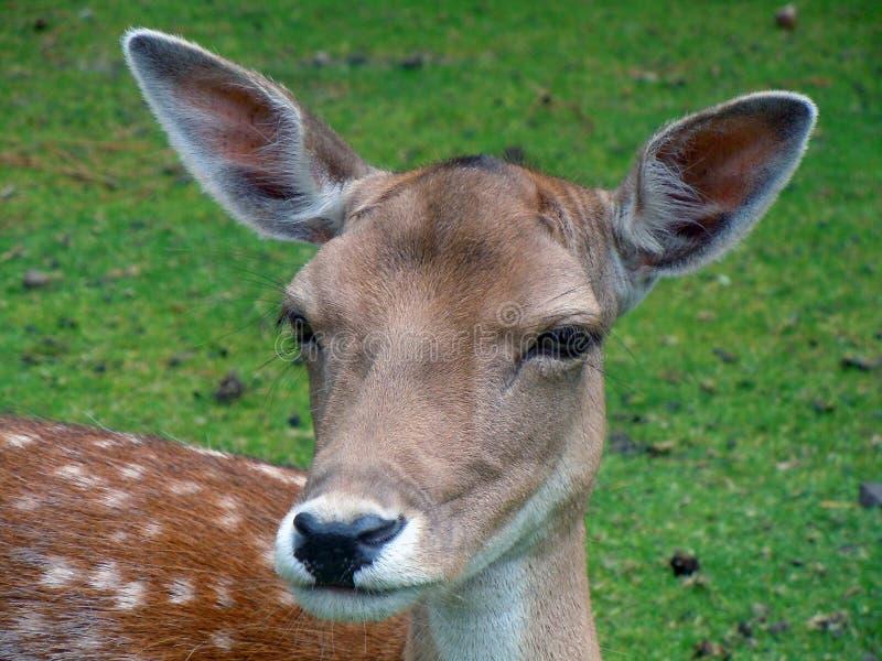 Portrait Of Reindeer Fawn Free Public Domain Cc0 Image