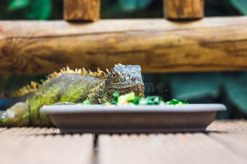Portrait of a resting green colored male Green iguana royalty free stock photo