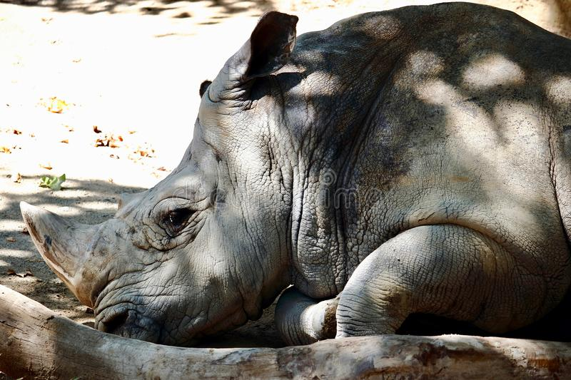 Portrait of a resting south white rhino, an African specie in danger with most of them living in South Africa stock photo