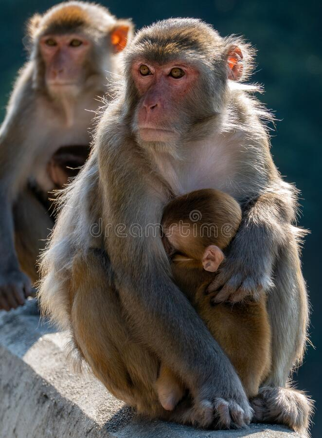 Portrait of a Rhesus macaque in Kam Shan Country Park, Hong Kong royalty free stock photos
