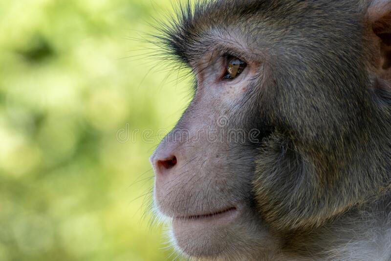 Portrait of a Rhesus macaque in Kam Shan Country Park, Hong Kong stock photos