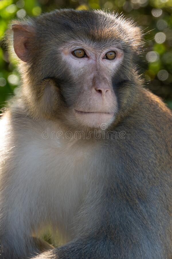 Portrait of a Rhesus macaque in Kam Shan Country Park, Hong Kong stock images