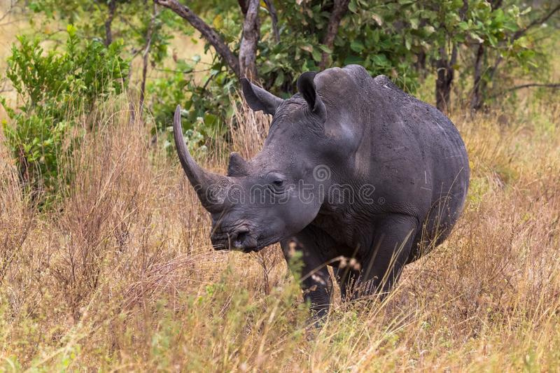 Portrait of a rhino in the thickets of Meru. Kenya, Africa royalty free stock image