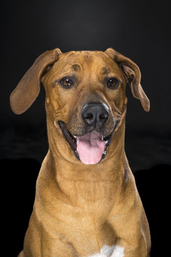 Portrait Rhodesian Ridgeback dog isolated black background sitting stock images