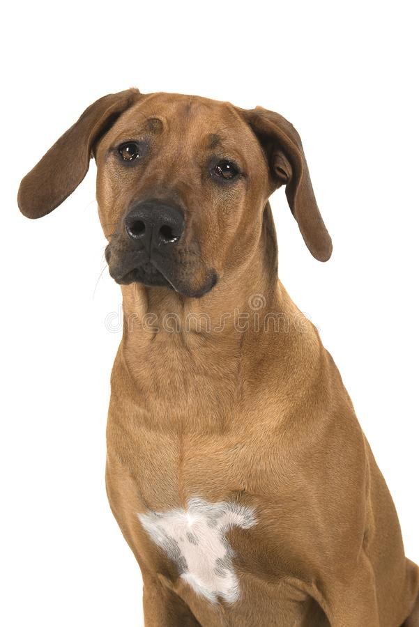 Portrait of a rhodesian ridgeback dog isolated on a white background royalty free stock image