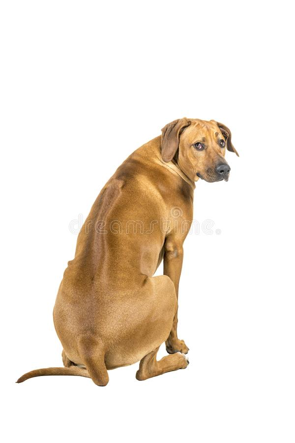 Portrait of a Rhodesian Ridgeback dog isolated on a white background sitting showing his back looking at the camera stock photography