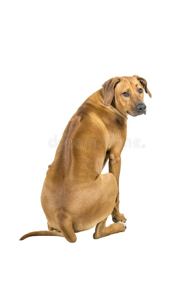 Portrait of a Rhodesian Ridgeback dog isolated on a white background sitting showing his back looking at the camera stock image