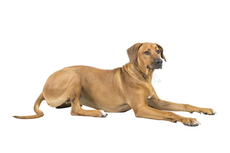 Portrait of a Rhodesian Ridgeback dog isolated on a white background studio shot lying down side ways royalty free stock image
