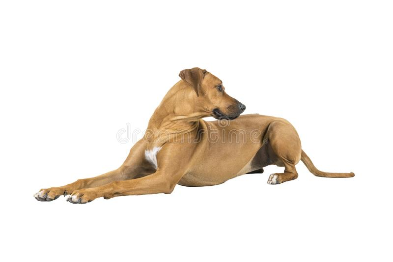 Portrait of a Rhodesian Ridgeback dog isolated on a white background studio shot lying down side ways royalty free stock images