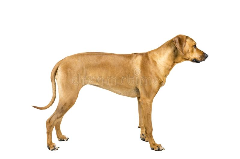 Portrait of a Rhodesian Ridgeback dog isolated on a white background studio shot standing sideways. Portrait of a Rhodesian Ridgeback dog isolated on white royalty free stock photo