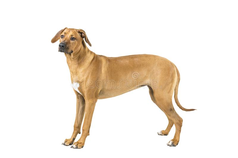 Portrait of a Rhodesian Ridgeback dog isolated on a white background studio shot standing sideways stock images
