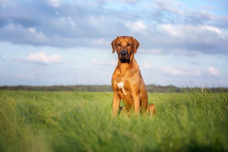 Rhodesian ridgeback dog outdoors stock photos