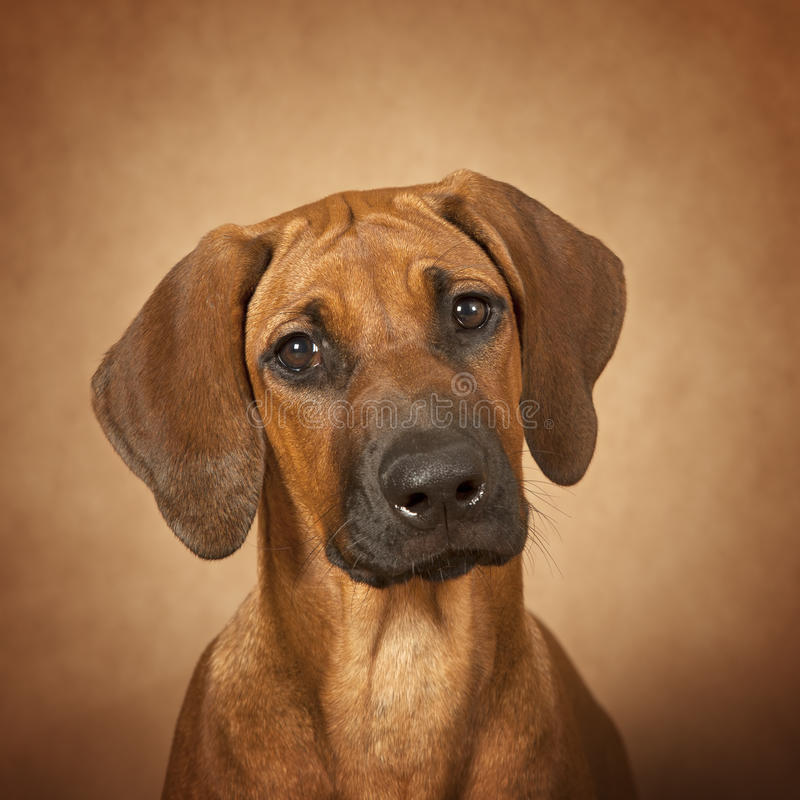 Portrait of Rhodesian Ridgeback dog stock images