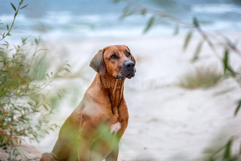 Portrait of a rhodesian ridgeback dog. royalty free stock images