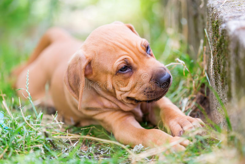 Portrait of a Rhodesian Ridgeback puppy royalty free stock photos